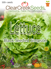 Lettuce Leaf - Black Seeded Simpson (500+ seeds) JUMBO PACK