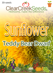 Sunflower (Dwarf) Teddy Bear (30+seeds)