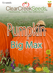 Pumpkin - Big Max (15+ seeds)