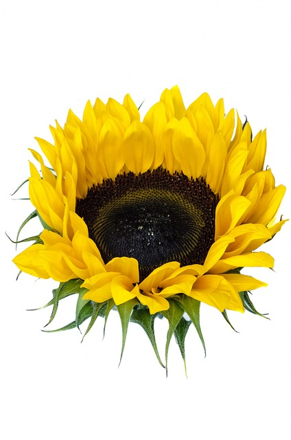 Sunflowers produce a healthy cooking oil.