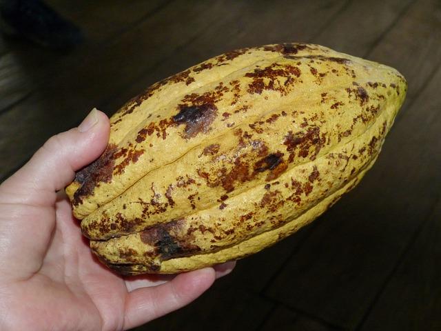 The cacao bean pod