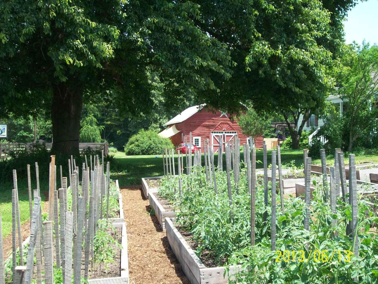 organic tomatoes growing at organic herb farm photo
