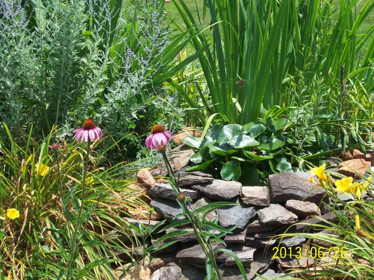 echinacea at organic herb farm