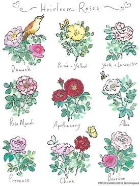 heirloom roses flour sack towel