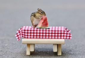 chipmunk eating watermelon greeting card