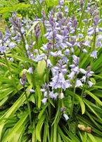 blue-bluebells-scillas-c.jpg