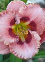 daylilies-c.jpg