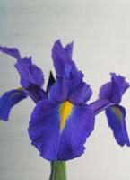 dutch-iris-c.jpg
