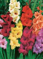 gladiolus-c.jpg