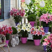 potted-liliums.jpg