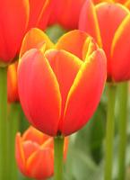 tulips-c.jpg