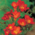Red - Single Freesias