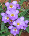 Purple - Single Freesias