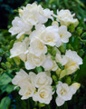 White - Double Freesias