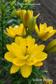 Yellow Bellies - Double Asiatic Lilium