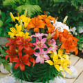 Mixed Colours - Dwarf/Potting Liliums