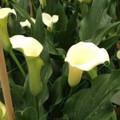 Swan Lake - Calla Lilies