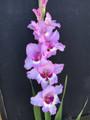 Zamora - Gladiolus