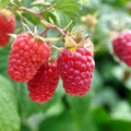 Raspberries - Heritage