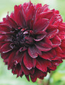 Nugget - Decorative Dahlia