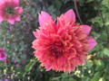Coral Bomb - Anemone Dahlia