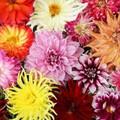 Dahlia's - Mixed Colours