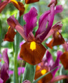 Red Ember - Dutch Iris