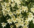 Trishus - Baby Gladiolus