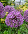 Allium - Early Emperor