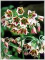 Allium - Bulgaricum