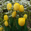Golden Parade - Darwin Hybrid Tulip