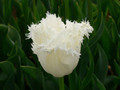 Honeymoon - Fringed Tulips