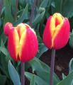 Denmark - Triumph Tulip