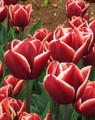 Bulk Tulips - Armani Triumph Tulip