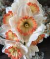 Icelandic Pink - Single Daffodil