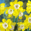 Dickussel - Multi-Headed Daffodil