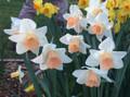Melany - Single Daffodil