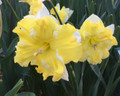 Belcanto - Single Daffodil