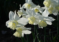 Tresamble - Single Daffodil