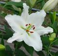 Zambesi - Oriental Lilium