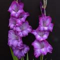 Chemistry - Gladiolus