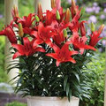 Blushing Joy - Dwarf /Potting Lilium