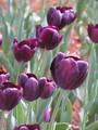 Bulk Tulips - Black Jack Triumph Tulip