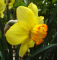 Bantom - Miniature Daffodil