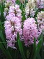 Fondant - Hyacinth