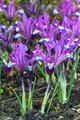 Reticulata Spot on (Dwarf Iris)