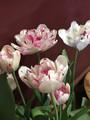 Jonquieres - Double Tulip