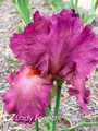 Lady Friend - Bearded Iris