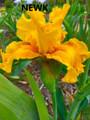 Newk - Bearded Iris