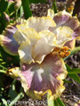 Whispering Spirit - Bearded Iris
